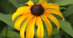 Brown-Eyed Susan, Wildflower, ZI to CU Flower Head