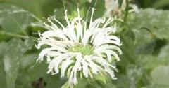 White Burgamot, Bee-Balm, Ant Investigating Wildflower