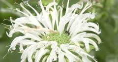 White Burgamot, Bee-Balm, ZI to Ant Investigating Wildflower