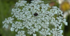 Wild Carrot, Wildflower in Bloom
