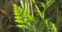 Fern-like Leaves of Wild Carrot
