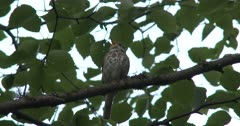 Hermit Thrush, Singing, Looks Down, Shifts Position, Sings Again