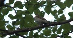 Hermit Thrush, Singing From Exposed Perch in Balsam Poplar Tree