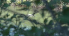 Loon Floating On Lake, Dives, Submerges