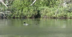 Loon Chick Floating in Lake, Parent Surfaces Beside Chick