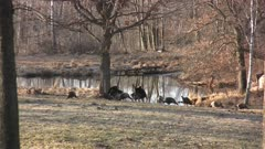 Two Tom Turkeys Displaying, Small Group Of Hens, Pond in BG