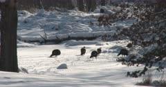 Wild Turkeys, Hens, Walking Across Snowy Pond, One Runs to Catch Up