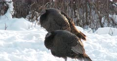 Wild Turkeys, Hens Sleeping, Fluffed Up Against The Cold and Snow
