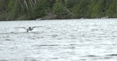 Territory Behavior, Common Loon Flapping Across Lake
