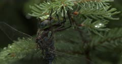 Canada Darner Dragonfly, Chewing, Feeding on Wasp