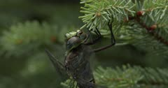 Canada Darner Dragonfly, Finishing Eating Wasp, Wings Begin to Beat, Warming