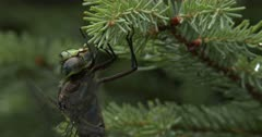 Canada Darner Dragonfly, Finishing Eating, Warming Up Wings to Fly