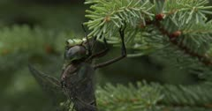 Canada Darner Dragonfly on Spruce Pine Branch, Exits