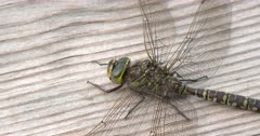 Close Up Canada Darner Dragonfly, Female