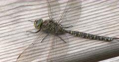 Canada Darner Dragonfly, Female, ZI to CU