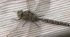 Canada Darner Dragonfly, Female, Slight ZI to CU