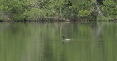 Northern Boreal Lake, Common Loon Dives, Fishing