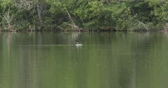 Northern Boreal Forest, Lake, Common Loon Appears on Water From Beneath