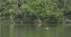Common Loon Swimming on Northern Boreal Forest Lake, Dives