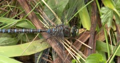 Canada Darner Dragonfly, Moves Leg Across Face