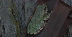 Gray Treefrog On Metal Post, Hiding