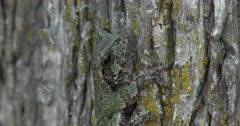 Gray Treefrog On Elm Tree, Hiding