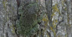 Gray Tree Frog On Elm Tree, View of Back, Camouflage