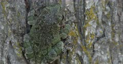 Gray Tree Frog On Elm Tree, View of Back, Camouflage, Pan R to L