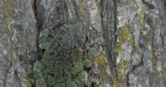 Gray Tree Frog On Elm Tree, View of Back, Camouflage, Pan Top Down