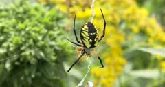 Yellow Garden Spider, Orb Weaver Spider, Hanging in Web