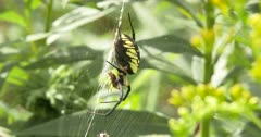 Yellow Garden Spider,Orb Weaver, Hanging in Web, Manipulating Prey, Feeding