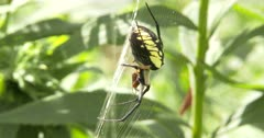 Yellow Garden Spider, Orb Weaver, Hanging in Web, Feeding, Juggling Prey