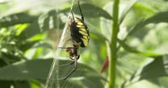 Orb Weaver Spider, Hanging in Web Holding Prey, Yellow Garden Spider