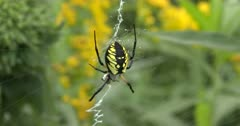 Yellow Garden Spider, Orb Weaver, Hanging in Web Holding Prey ZO to WA