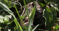 Northern Leopard Frog Hiding in Grass