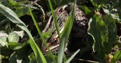 Northern Leopard Frog Hiding in Grass, Shadow Falls Across, Frog Exits