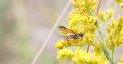 Wasp on Wild Mustard, Gathering Pollen for Food, Exits