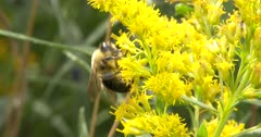 Bumblebee on Wild Mustard, Gathering Pollen for Food