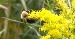 Bumblebee on Wild Mustard, Gathering Pollen for Food, Exits