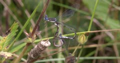 Spotted Spreadwing Damselfly Pair, Mating