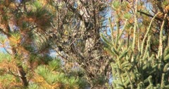 Black-backed, or Arctic Three-toed Woodpecker, De-barking Dead Spruce Tree