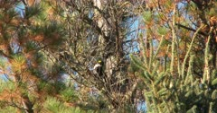 Black-backed Woodpecker Feeding, De-barking Tree
