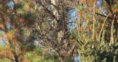 Black-backed Woodpecker on Dead Spruce Tree, De-barking, Hunting Insects