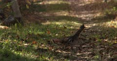 Ruffed Grouse, Walks Across Path, Exits