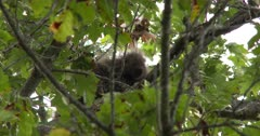 Porcupine in Tree, Watching, Moving Head Slightly