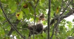 Porcupine in Tree, Watching Ground Below