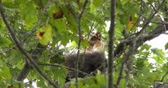 Porcupine in Tree, Moving About, Peeks Back At Camera With One Eye