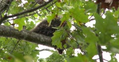 Porcupine in Tree, Watching, Looking Down to Ground