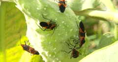 Large Milkweed Bugs, Group on Milkweed Pod, Feeding