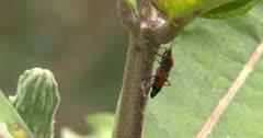 Milkweed Bug Climbing, Reverses Direction, Exits